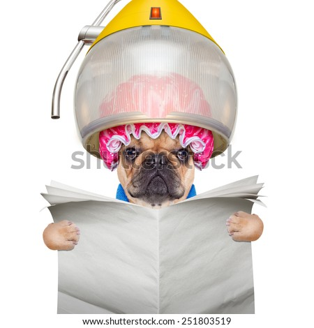 french bulldog dog  under the hood dryer , drying hair ,reading a blank newspaper or magazine, isolated on white background - stock photo
