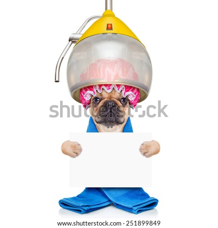 french bulldog dog  under the hood dryer , drying hair with a shower cap holding a white blank banner , isolated on white background - stock photo