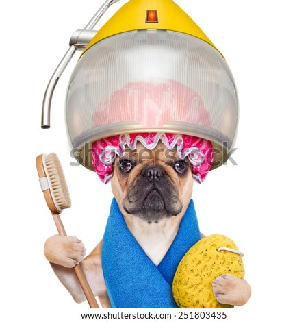 french bulldog dog  under the hood dryer with sponge, shower cap, and brush, ready for a makeover , isolated on white background - stock photo