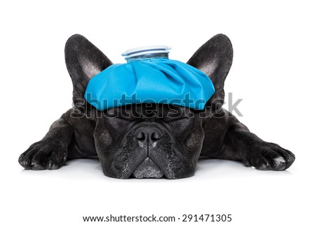 french bulldog dog very sick with ice pack or bag on head, eyes closed and suffering isolated on white background