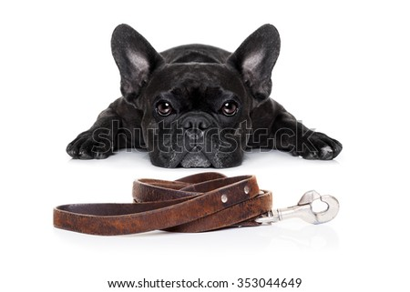 french bulldog dog waiting for a walk with owner and leather leash - stock photo