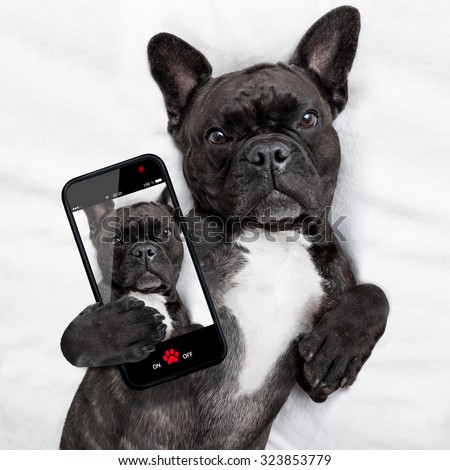 french bulldog dog  with  headache and hangover sleeping in bed, taking a selfie for friends and sharing - stock photo