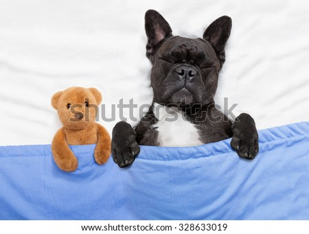 french bulldog dog  with  headache and hangover sleeping in bed, with teddy bear close together - stock photo