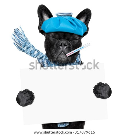 french bulldog dog  with  headache and hangover with ice bag or ice pack on head, eyes closed suffering , holding a blank banner or placard, isolated on white background - stock photo