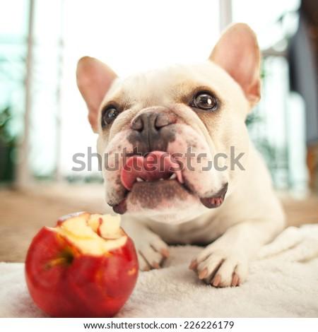 French bulldog eating an apple - stock photo