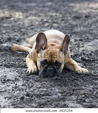french bulldog enjoying mud - stock photo