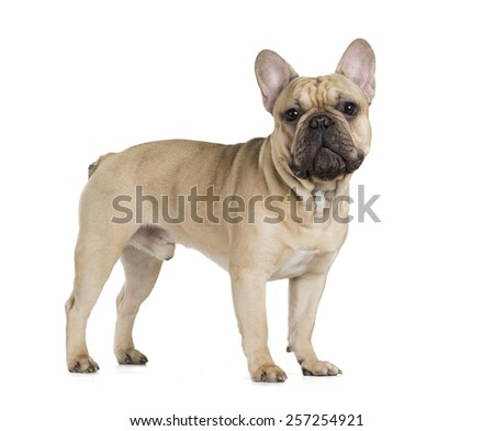 french bulldog fawn color on a white background - stock photo