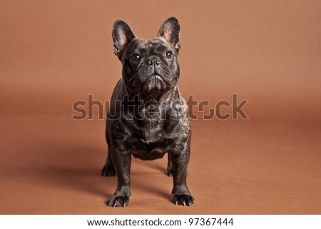 French Bulldog Female - stock photo