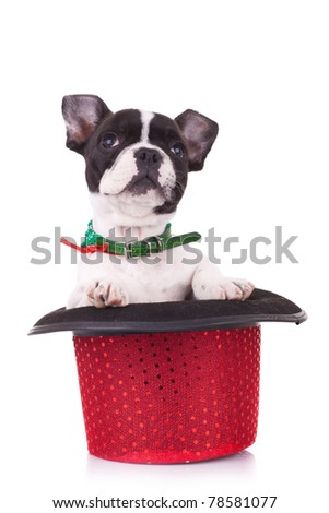 French bulldog in a show hat looking up over white