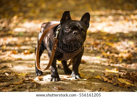 french bulldog in autumn forest