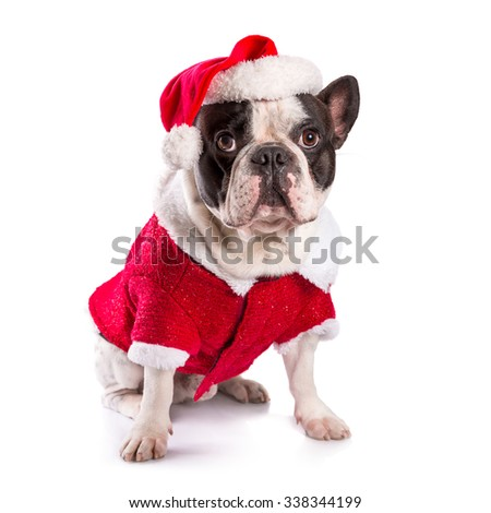 French bulldog in santa costume for Christmas over white - stock photo