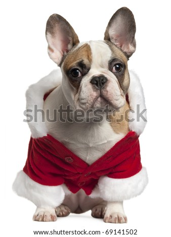French bulldog in Santa outfit, 7 months old, sitting in front of white background - stock photo