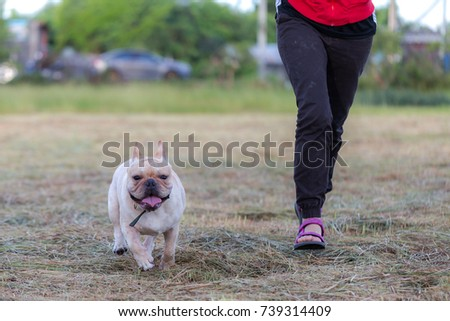 French bulldog is running and playing in the meadow