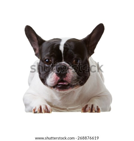 French Bulldog is smart on  isolated background. - stock photo
