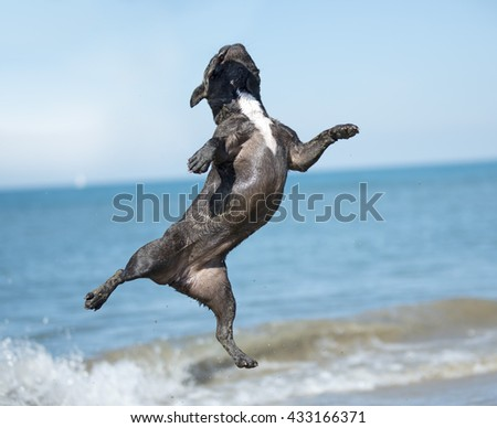 french bulldog jumping on the beach, in France - stock photo