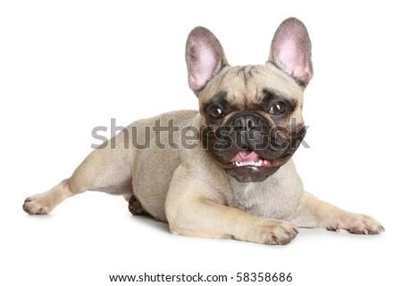 French bulldog lies on a white background - stock photo