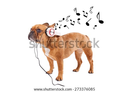 French bulldog listening music, while relaxing and enjoying the sound, isolated on white - stock photo