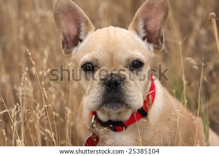 French bulldog looking pensive sitting in a field of wheat - stock photo