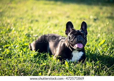 French bulldog lying down on grass in park, tongue out.