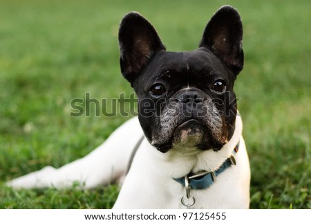 French bulldog lying in the grass - stock photo