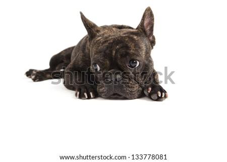 French Bulldog lying on white background - stock photo