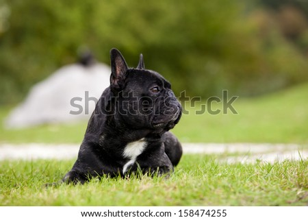 French Bulldog Male Portrait - stock photo