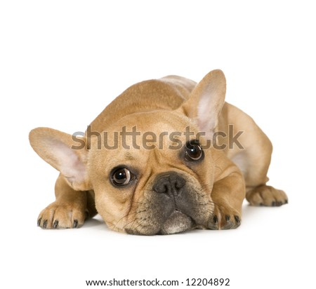 French Bulldog (7 months) in front of a white background - stock photo