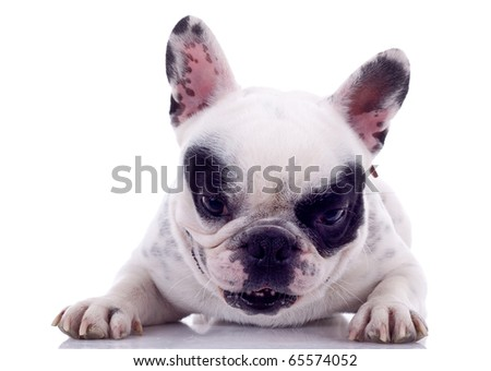 French Bulldog (7 months) in front of a white background