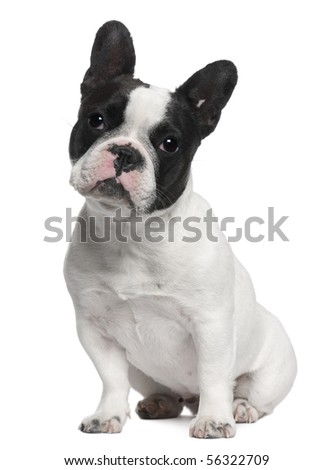 French Bulldog, 13 months old, sitting in front of white background - stock photo