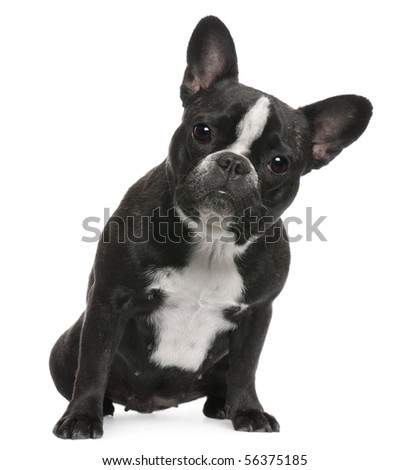 French Bulldog, 12 months old, sitting in front of white background - stock photo
