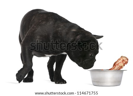 French Bulldog, 12 months old, sniffing bone in bowl against white background - stock photo