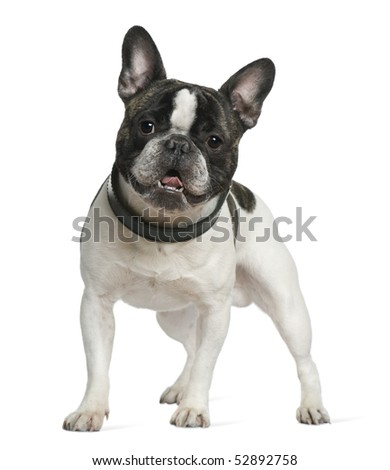 French bulldog, 15 months old, standing in front of white background