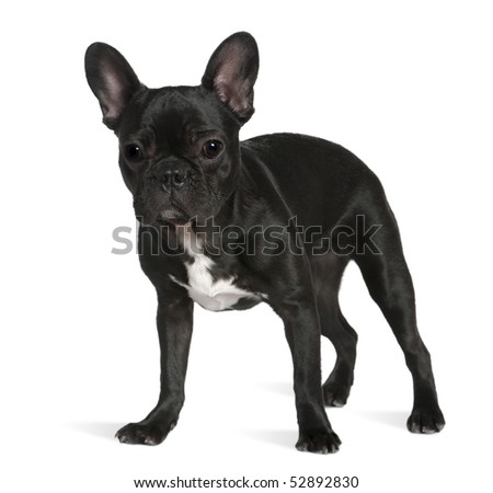 French bulldog, 8 months old, standing in front of white background