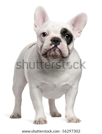French bulldog, 12 months old, standing in front of white background - stock photo