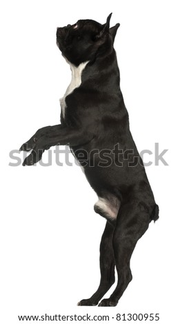 French Bulldog, 18 months old, standing in front of white background - stock photo