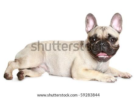French bulldog on a white background - stock photo