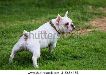 french bulldog on green field backyard.