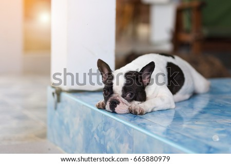 French Bulldog on natural background , French Bulldog , Puppy