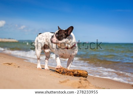 French bulldog on the beach of Baltic sea