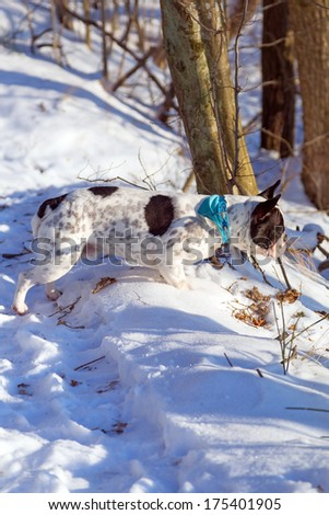 French bulldog on the walk in winter forest