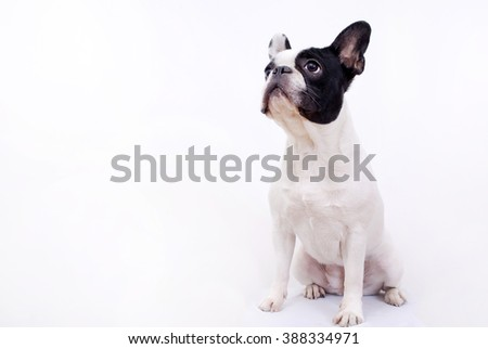 French bulldog on white background - stock photo