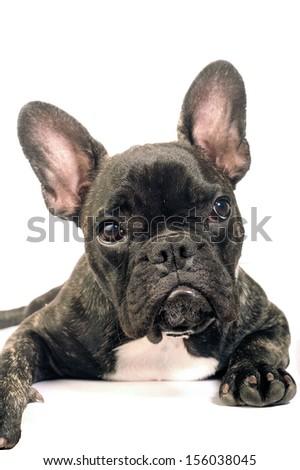 French bulldog on white background in studio - stock photo