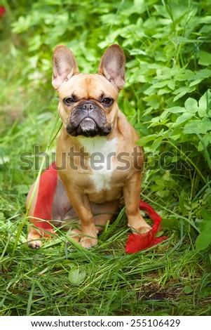 French bulldog outdoors - stock photo