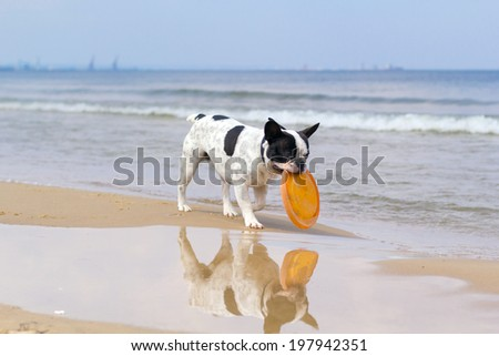 French bulldog playing on the beach  - stock photo