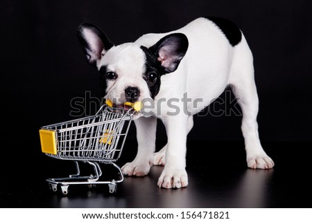 French Bulldog playing with a supermarket cart. Funny little dog. - stock photo