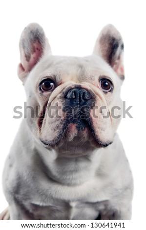 French bulldog portrait isolated on white background - stock photo