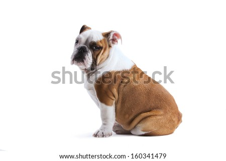 French bulldog posing - stock photo