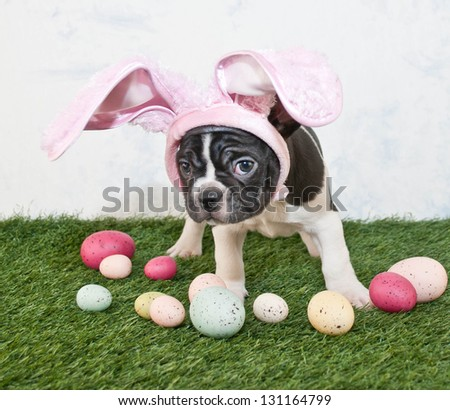 French Bulldog pretending to be the Easter Bunny. - stock photo