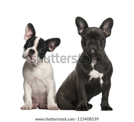 French bulldog puppies, 4 months old, sitting against white background - stock photo