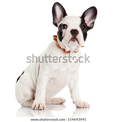 French bulldog puppy. - stock photo